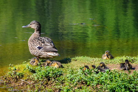 Duck familly in a lake in Santiago de Compostela, Galicia, Spain Stock Photo