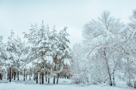 evergreens: Snow-covered forest road, winter landscape. Cold and snowy winter road with blue evergreens and grey clouded skies. Christmas and New Year Tree. Copy space in the center-top and center-bottom.