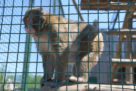 Monkeys playing on a cage at the zoo. Entertainment in the cage.