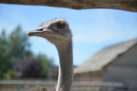 Portrait of an ostrich with a humorous expression. Ostrich full frame filling head