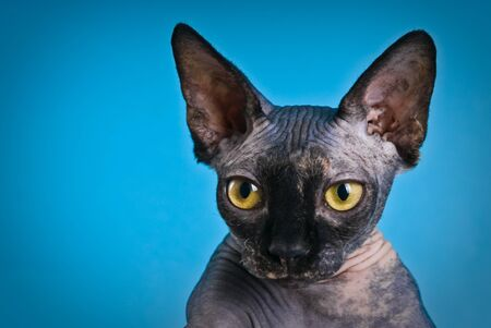 Don Sphynx (DON SPHYNX) cat. Isolated on blue background