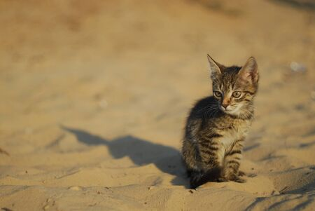 adorable meowing tabby kitten outdoors.