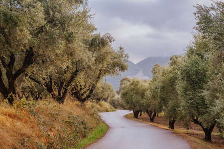 Olive Grove on the island of Greece. plantation of olive trees