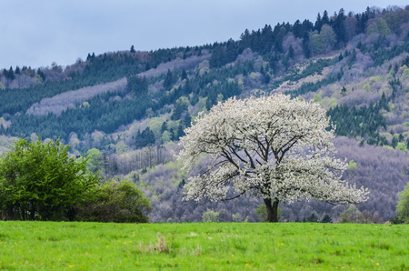thoroughfare: Beautiful spring scenery. White flowers cherry trees on nice meadow full of green grass. Blue sky and majesty forest in background. Wallpaper with space for you montage.