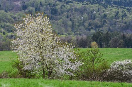 Beautiful spring scenery white flowers cherry trees on nice stock white flowers cherry trees on nice meadow full of green grass mightylinksfo
