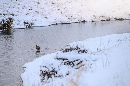 Duck in the winter river, wild animal, white background. 免版税图像
