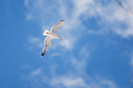 The snow-white seagull in the rays of sunlight, is easily lifted into the blue sky with a few white clouds photo