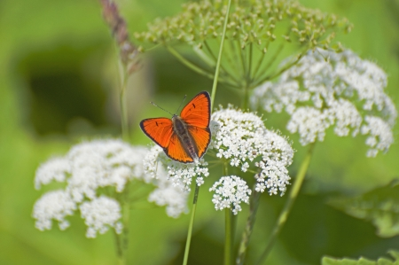 lycaena: Red butterfly (Lycaena dispar Haw lat.) Sits spread their wings and the white fluffy flowers Stock Photo