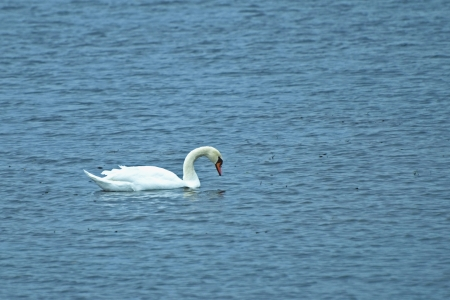 floats: White swan with a curved neck floats on water  Cygnus Lat   Stock Photo