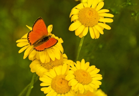 Bright red butterfly (Lycaena virgaureae Lat.) on yellow flowers Stock Photo