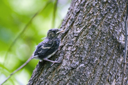 nestling: Small nestling sitting on a tree trunk