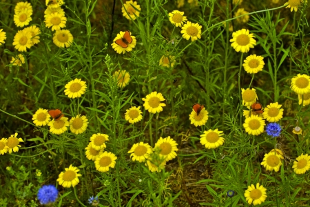virgaureae: Bright red butterfly (Lycaena virgaureae Lat.) on yellow flowers Stock Photo