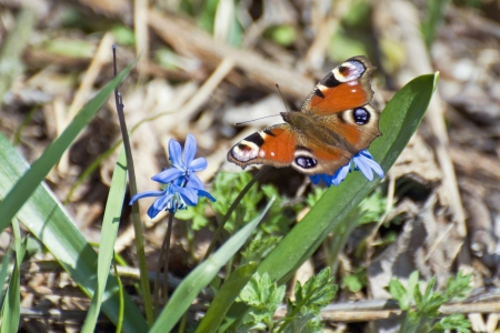 io: A beautiful butterfly sits on the first spring flowers of blue  Inachis io Lat