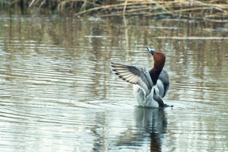 aythya ferina: Pochard flaps its wings over the water (Aythya ferina Lat.)