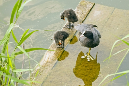 Coot (Fulica atra Lat.) , tucking one leg, standing with two fluffy chicks on the bridge near the water