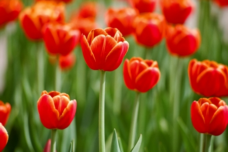 Large flowers red tulips with green leaves photo