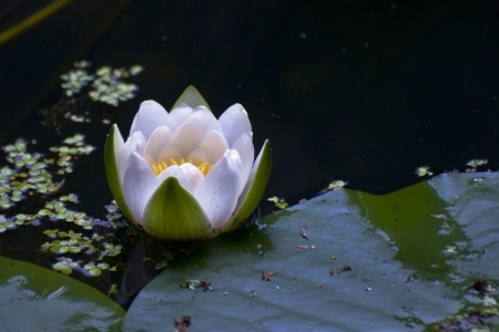 Flower white lily on black water pond photo