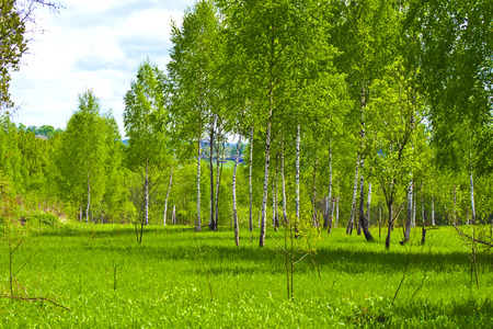 Young birch trees in fresh greens in a clearing with green grass in the middle of spring