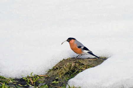 thawed: Bullfinch bird walks through the earth in the thawed patch of snow Stock Photo