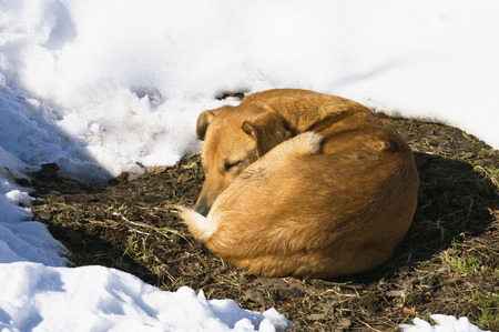 Dog sleeping in the thawed patch of snow drifts in the spring sunshine photo