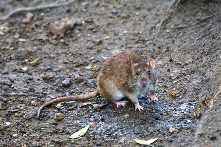 sassy: Sassy redhead rat looks ahead Stock Photo