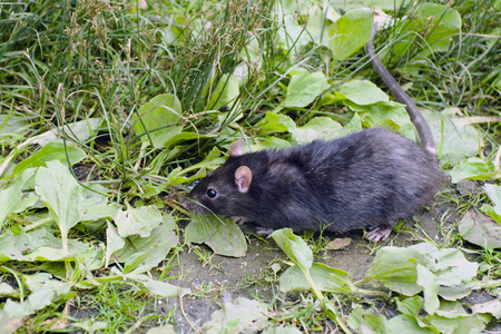 rata: Rata Negro busca cuidadosamente en el verde césped