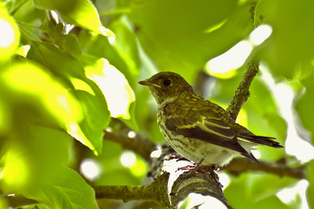 young bird: Young bird hides on a branch among, sunlit, leaves
