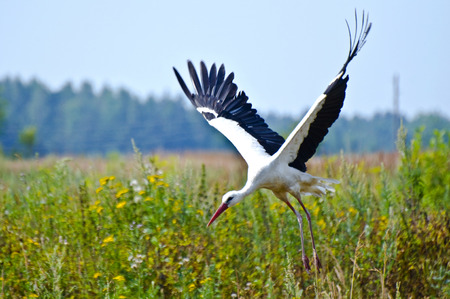 flapping: White stork flying starts widely flapping wings