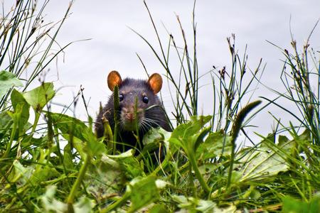 Cachette de rat noir dans l'herbe verte piaule et prudemment