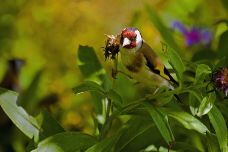 goldfinch: Goldfinch bird pecks seeds of the plant (lat. Carduelis)