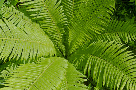 fern  large fern: Large green fern leaves