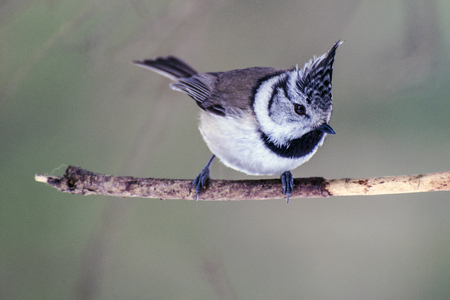 fluffy tuft: Tufted titmouse looks with tree branch Stock Photo