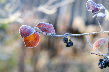 A branch of black mountain ash with berries and leaves, covered with hoarfrost after a night frost