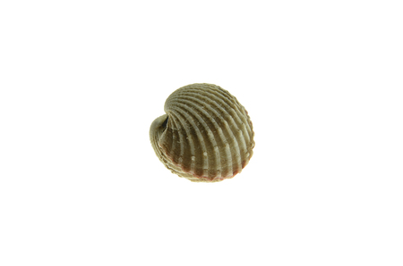 cockle: cockle on white background