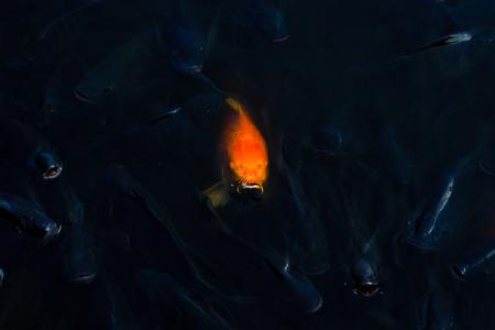 fish rearing: Koi fish out door look face Stock Photo