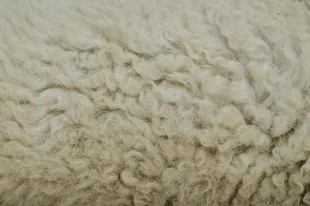 sheep skin: The manufactured skin of a sheep.Wool sheep closeup for background.