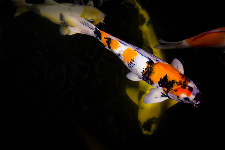 fish rearing: Koi fish feeding and relaxing water garden. Stock Photo