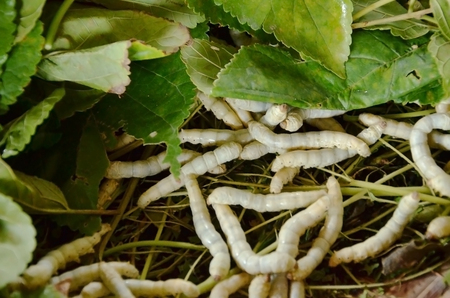 sericulture: Silkworm eating mulberry green leaf
