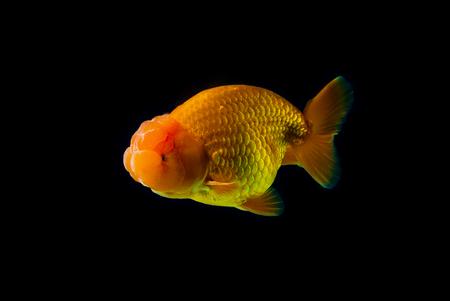carassius auratus: goldfish with black Background. Stock Photo