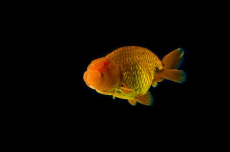 fishtank: goldfish with black Background. Stock Photo