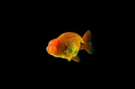 gill: goldfish with black Background. Stock Photo