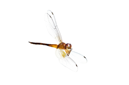 Dead dragonfly on white background Stock Photo
