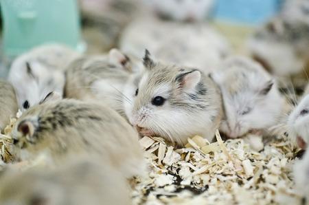 Hamsters eating