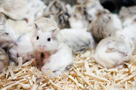 Hamsters sleep but have one wake up Stock Photo