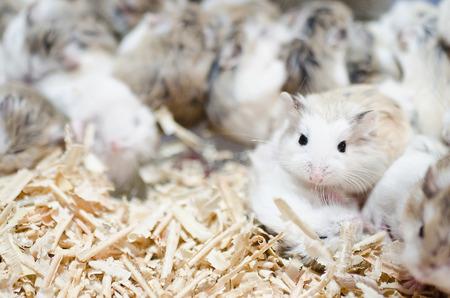 Hamsters Stock Photo