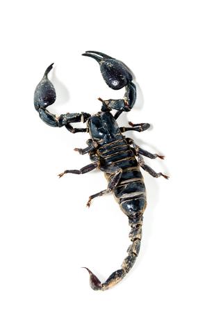 escorpión.