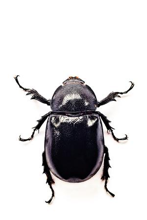 beetle Lucanus cervus female isolated on white background, dorsal view of beetle