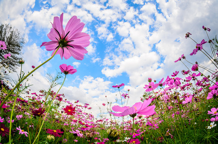 Cosmos flower blossom in garden Stock Photo - 99359293