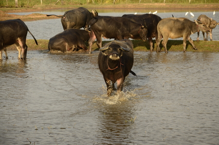 Buffalo in thailand,Life Machine of Farmer. Original agriculture use buffalo plow the field.Photo shoot Sunset time.