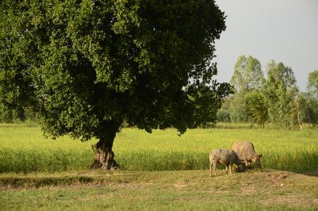 Buffalo thai Eating grass,Life Machine of Farmer. Original agriculture use buffalo plow the field.Photo shoot Sunset time.